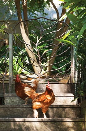 Chooks roam free in the rear garden.