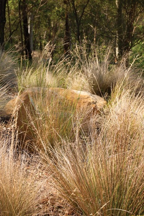 Grasslands are being established from site Glugs of Poa and seed-grown Themeda.