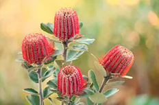Banksias are a key component of the ecosystem in the protea-rich mallee-heath forest.