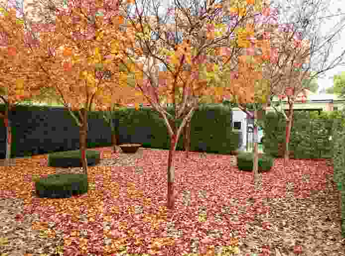 Autumn in the front entrance of the north Adelaide villa garden.
