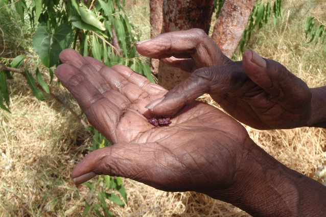 Cissy Djiagween showing the sap of the Corymbia dampieri which has medicinal uses.