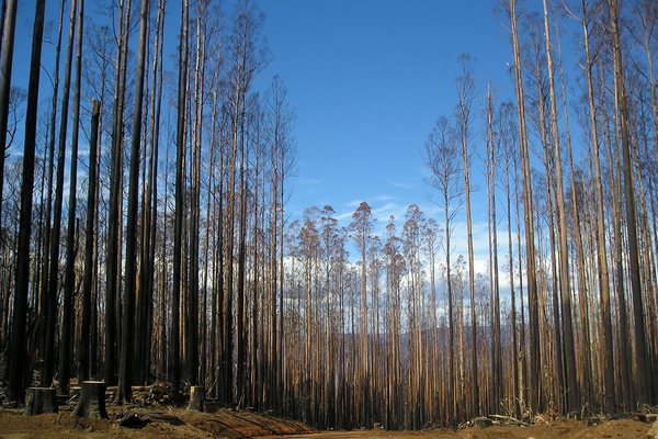 The Victorian mountain ash forest has been severely affected by fires and logging. To determine the actual health of the forest, we need to look at the quality, not just the quantity of what remains.