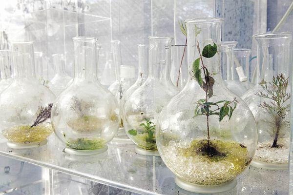 Laboratory flasks house impaired botanical seedlings.