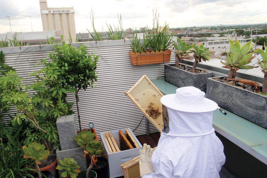 A beekeeper collects honey from one of the rooftop hives.