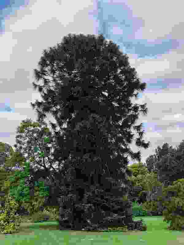 A bunya bunya pine in the Royal Botanic Gardens Victoria was shortlisted in the 2019 Victorian Tree of the Year Awards.
