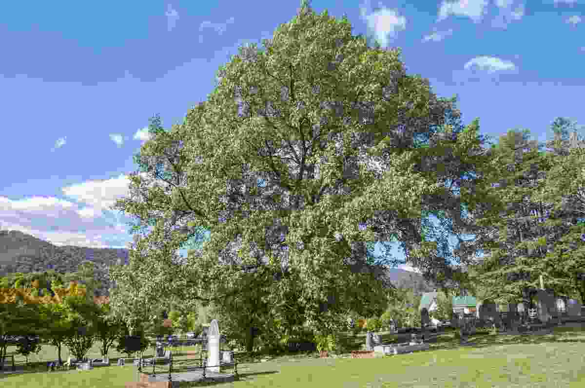 Himalayan Oak at Bright Cemetery