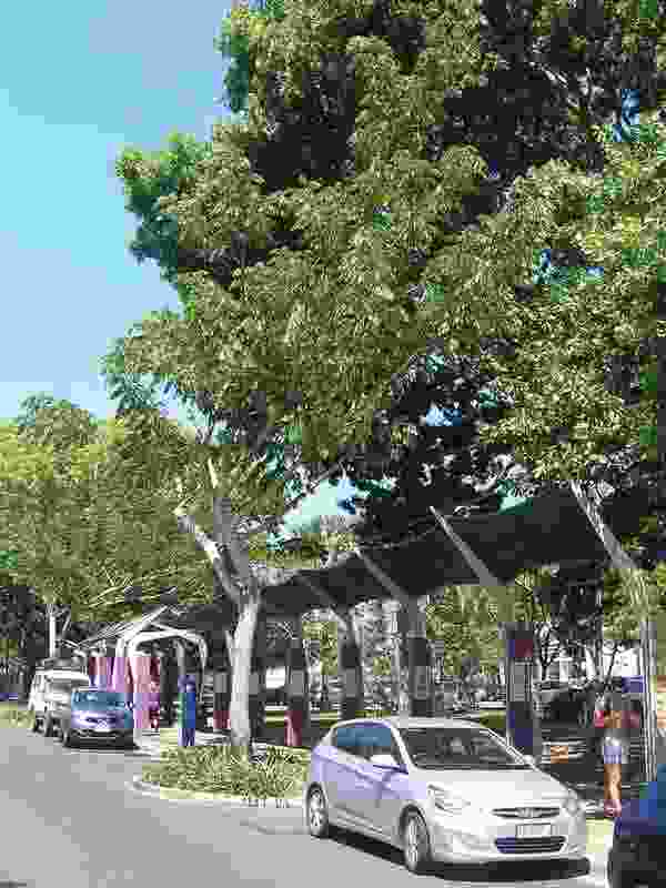 "Albizia saman ""raintrees"" growing along Smith Street, Darwin will in time touch across the road and offer an extensive canopy."