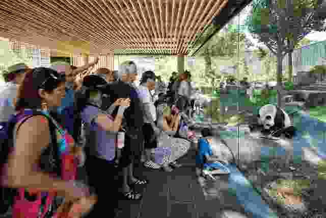在玻璃下的独立式观赏亭子的一块寒冷的岩石,哄骗居民熊猫更近的观众。