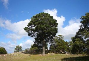 "The ""Lollipop Tree"" at Mount Beckworth Scenic Reserve, winner of the 2018 Victorian Tree of the Year contest."