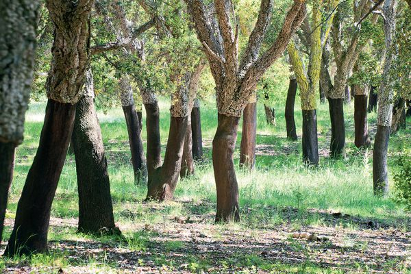 The eighty-year-old cork oak forest at the National Arboretum Canberra.