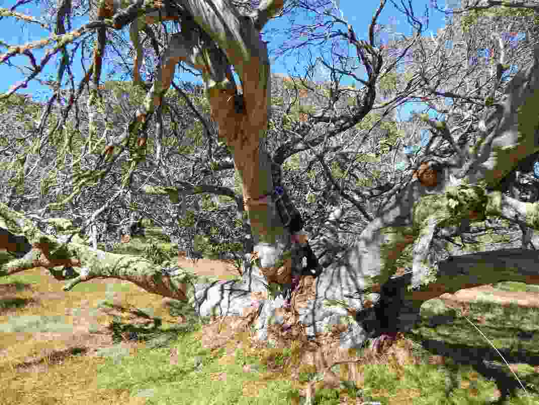 """A snow gum known as the """"King Billy"""" tree in Victoria's Alpine National Park was shortlisted in the 2019 Victorian Tree of the Year Awards."""