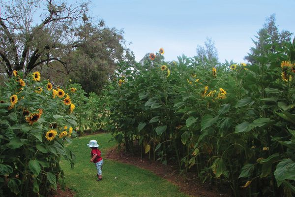 Ongoing community engagement and involvement has been a hallmark. This included the planting of over 3000 sunflowers by local school children.