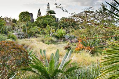 At Golden Rock Inn, Dioon edule, Encephalartos and Cycus spp. are planted above a broad expanse of Spartina bakeri.