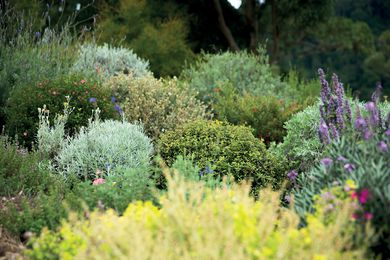 Salvia spp, Nepeta spp.